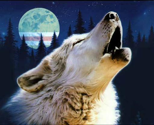 عکس گرگ سفید زیبا